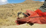 رهاسازی ۱۸ قطعه پرنده وحشی در سراب
