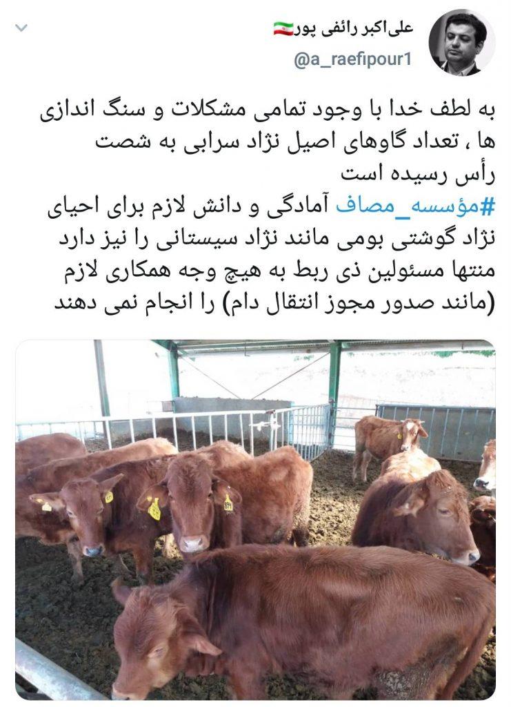 مجتمع کشت و صنعت محمدآباد اراک گاوهای سرابی را احیا می کند